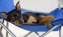 A Dog's Life. Miniature pinscher puppy lounging in his chair royalty free stock image