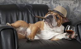 Dog's life. Humorous photograph of English Bulldog resting in a black leather chair with a cigar and glass of cognac stock photos
