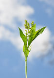 Dog's mercury (Mercurialis perennis) Stock Images