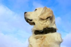 Dog`s Muzzle Over Blue Sky Background With A Lot Of Copy Space For Text. Animal, Pets, Dogs, Nature Concept. Dog`s Muzzle Over Blue Sky Background With A Lot Of Stock Images
