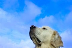 Dog`s muzzle over blue sky background with a lot of copy space for text. Animal, Pets, Dogs, Nature Concept. Dog`s Muzzle Over Blue Sky Background With A Lot Of Stock Image