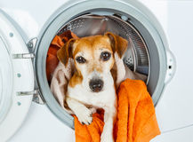A dog`s muzzle stared out of the washing machine. Stock Photo