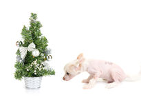 Dog's new year Royalty Free Stock Photo