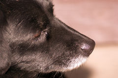 The dog's nose. The black dog's nose and sense of smell is an important sensory organ Stock Images