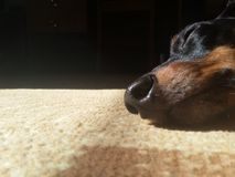 Dog's nose closeup. Dachshund is sleeping in the sun Royalty Free Stock Photography