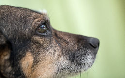Dog`s nose. And eye Stock Photography