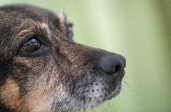 Dog`s nose and eye. Macro shot of Dog`s nose and eye, green background, cute dog, animal, pet Stock Image