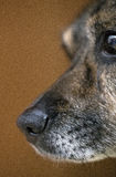 Dog`s nose. Macro shot of Dog`s nose, brown background, nose, cute, animal, pet Royalty Free Stock Photos