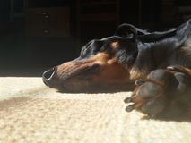 Dog's nose and paw closeup. Dachshund is sleeping in the sun Royalty Free Stock Photo
