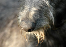 Dog`s Nose. Nose of a Scottish Deerhound Royalty Free Stock Photos