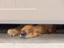 Dog's Nose Under Garage Door. Golden Retriever waiting for owner to return home. The yogurt she just ate can be seen in the hair around her mouth Stock Photos