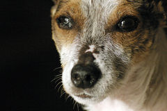 Dog's Old Face Stock Photography