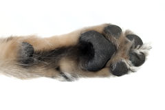 Dog's paw Royalty Free Stock Photo