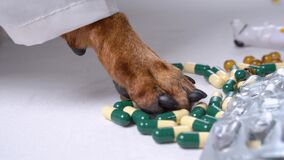 Dog`s paw dressed as doctor goes over bunch of pills and looks for the right one