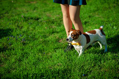 Dog`s paw feet next to the owner -- walking together instagram toned. Female legs and a dog Jack Russell Terrier in park Royalty Free Stock Photos