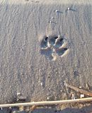Dog`s paw print in the sand stock photo