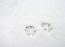 Dog's paw prints. On fresh snow Royalty Free Stock Images