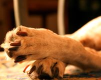 Dog's paws royalty free stock images