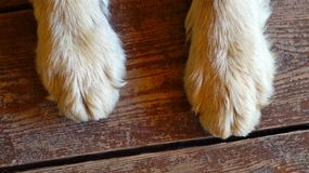 Dog's paws. Paws of a big dog on the wooden floor royalty free stock photo