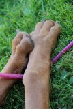 Dog's paws are on the grass. Dog lying on the grass with a straw Stock Images