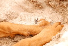 Dog,s paws on the sand. Digging the sand. Hungarian Vizsla Ginger Brown Dog Stock Images