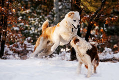 Dog`s play in winter forest Stock Photography