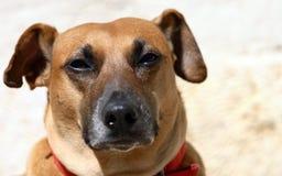 Dog S Portrait Royalty Free Stock Photography