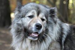 Dog's portrait. Caucasian shepherd's open air portrait Stock Images