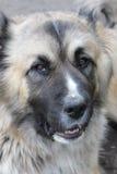 Dog's portrait. Caucasian shepherd's open air portrait Stock Photography