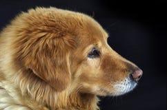 A Dog's Portrait. Portrait of a Golden Retriever mix against black background stock photography