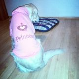 DOG'S PRINCESS GOLDEN RETRIEVER. Pink clothes vest for dog's Royalty Free Stock Images