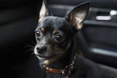 A dog`s sad look. Dwarf pinscher in a collar inside a car on a dark background. royalty free stock photography