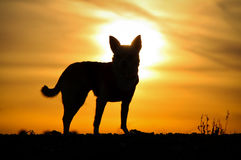 Dog`s Silhouette. A silhouette of a dog chihuahua standing against the sunset Royalty Free Stock Images
