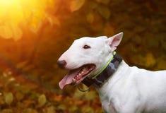 The dog`s sunset autumn. The dog bull terrier eat verdure royalty free stock photo