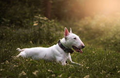 The dog`s sunset forest Royalty Free Stock Photography