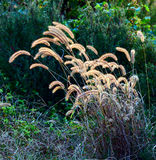 Dog's tail grass Stock Photography