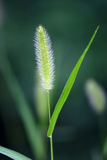 Dog's tail grass Royalty Free Stock Images