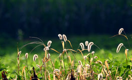 Dog's tail grass Royalty Free Stock Photography