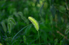 Dog's tail grass Stock Photo