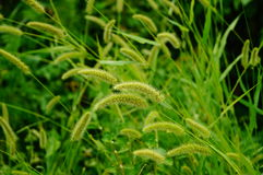 The dog's tail grass Stock Photography