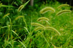The dog's tail grass Stock Images