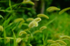 The dog's tail grass Royalty Free Stock Photos