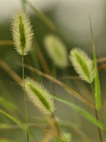 The dog's tail grass in the field in autumn. Royalty Free Stock Photography