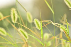 The dog's tail grass in the field in autumn. Royalty Free Stock Photo