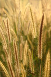 Dog's Tail Grass flowers Royalty Free Stock Photography