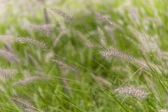 Dog s tail grass Royalty Free Stock Image