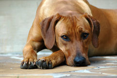 Dog sad Royalty Free Stock Image