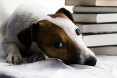 Jack Russell and books stock photography