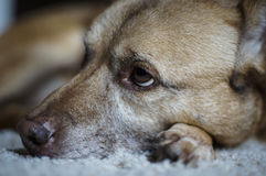 Dog With Sad Eyes. Exhausted expression of an aging dog Stock Photo