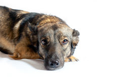 Dog with sad eyes. Lies on a white background Stock Image